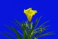 Yellow oleander flower thevetia peruviana blue sky background Stock Photo