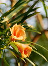 Yellow oleander lucky nut in orange color green leaves background in nature Stock Photo