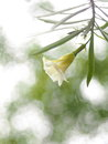 Yellow oleander lucky nut white soft flower in pastel color green leaves on romantic bokeh background in nature Stock Images