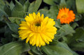 Yellow and orang gerbera flowers Royalty Free Stock Photo