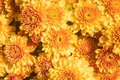 Yellow Orange Chrysanthemum or Mums Flowers with Natural Light Background Royalty Free Stock Photo