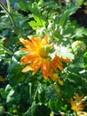 Yellow-orange chusanthemum in the autumn garden in the morning Royalty Free Stock Photo
