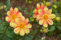 Yellow and orange dahlia flowers Royalty Free Stock Image