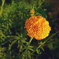 Yellow and orange marigold flowers in the garden fall Stock Photography