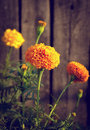 Yellow and orange marigold flowers in the garden fall Royalty Free Stock Image