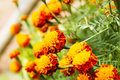 Yellow and orange marigolds. Royalty Free Stock Photo