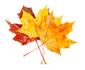 Yellow, orange  and red fall leaves Royalty Free Stock Photo