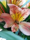 Yellow and  orange spring tiger  lily Royalty Free Stock Photo