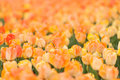 Yellow orange tulips horizontal image of a field of Royalty Free Stock Photo