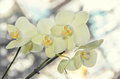 Yellow orchid close up branch flowers, isolated on bokeh Royalty Free Stock Photo