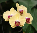 Yellow orchid flower with red pollen Stock Photo