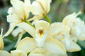 Yellow orchid flowering bush close up Royalty Free Stock Image