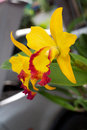 Yellow orchid in frontyard at a m Stock Image