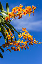 Yellow orchids and blue sky park in thai Royalty Free Stock Photography