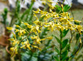 Yellow Orchids On Green