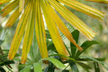 Yellow palm tree Stock Photos