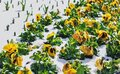 Yellow pansies in snow at day Royalty Free Stock Photo