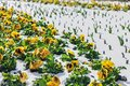 Yellow pansies in spring snow Royalty Free Stock Photo