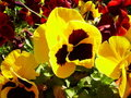 Yellow pansy Royalty Free Stock Photography