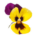 Yellow pansy with dew drops Royalty Free Stock Photo