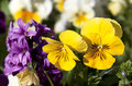 Yellow pansy flowers closeup of Royalty Free Stock Image