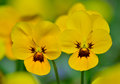 Yellow pansy two flowers close up Royalty Free Stock Photo