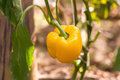 Yellow paprika growing on a plant Royalty Free Stock Photo