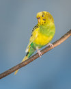 Yellow parakeet and green perched against clear blue sky Stock Photos