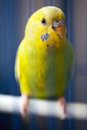 Yellow parrot Royalty Free Stock Images