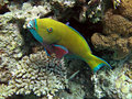 Yellow parrotfish Royalty Free Stock Photo