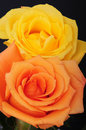 Yellow and peach rose pair isolated over black Royalty Free Stock Image