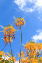Yellow peacock flower blue sky sun shine Royalty Free Stock Photos