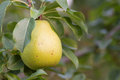 Yellow pear in the tree branch green Royalty Free Stock Images