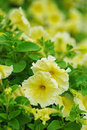 Yellow petunia Stock Photo