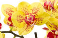 Yellow phalaenopsis Royalty Free Stock Photography