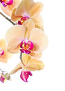 Yellow phalaenopsis orchid isolated white Royalty Free Stock Image
