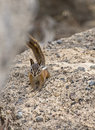 Yellow-pine Chipmunk on Rocks Stock Photos