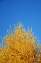 Yellow pine tree Stock Photos