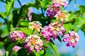 Yellow-pink Lantana camara Verbenaceae flowers in a spring season at a botanical garden. Royalty Free Stock Photo