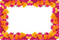 Yellow and pink roses  frame Stock Photo