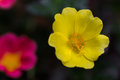 Yellow and pink wildflowers Royalty Free Stock Photo