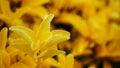Yellow Plant Macro