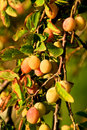Yellow plums a branch of Royalty Free Stock Photos