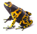 Yellow poison dart frog dendrobates leucomelas beautiful tropical rain forest animal from the amazon rainforest in venezuela a Stock Image