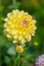 Yellow Pompon Dahlia Royalty Free Stock Photo