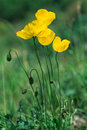 Yellow poppies Stock Photos