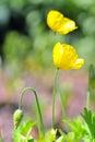 Yellow poppy Royalty Free Stock Photo