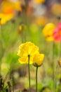 Yellow poppy flower Royalty Free Stock Photo