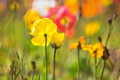 Yellow poppy flower 2 Royalty Free Stock Photo