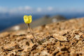 Yellow poppy flowers mountains closeup Royalty Free Stock Photo